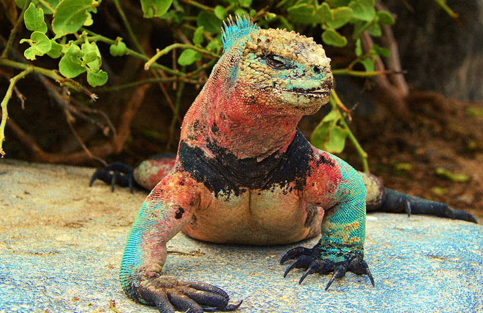 Christmas iguanas can be found on Española Island.
