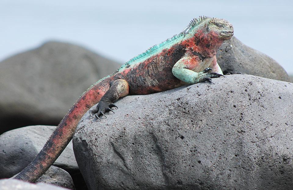 Christmas iguana resting on a rock on Española Island.