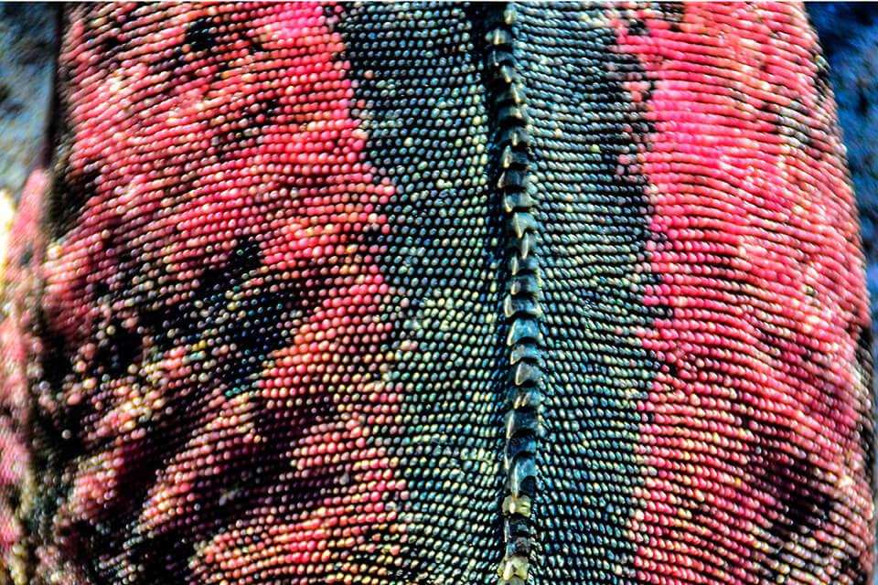 Skin of a Christmas iguana.