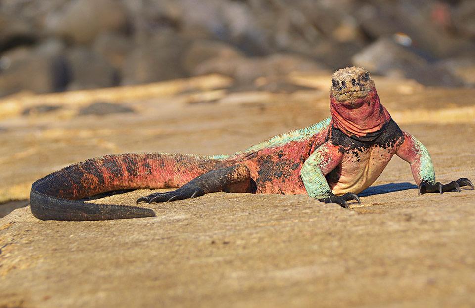 Christmas iguana walking