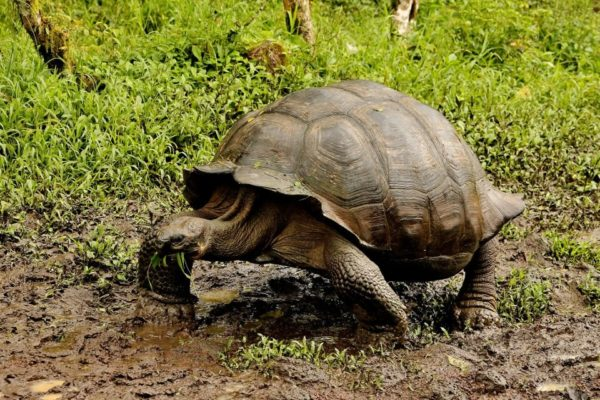 Galapagos giant tortoise live in the highlands of Santa Cruz Island.