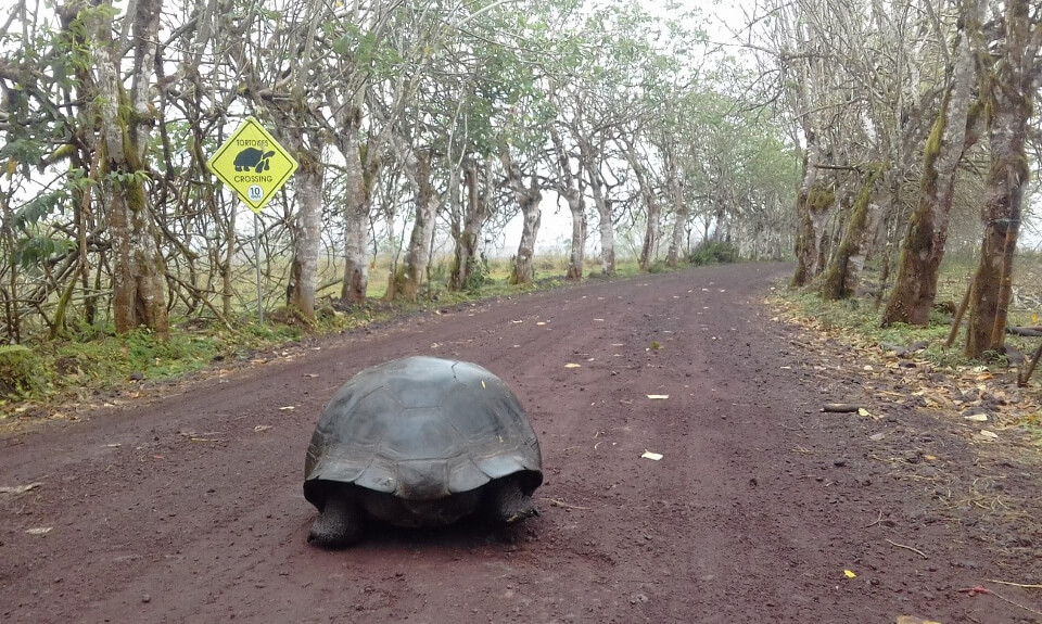 Galapagos giant tortoise in the highlands of Santa Cruz Island.