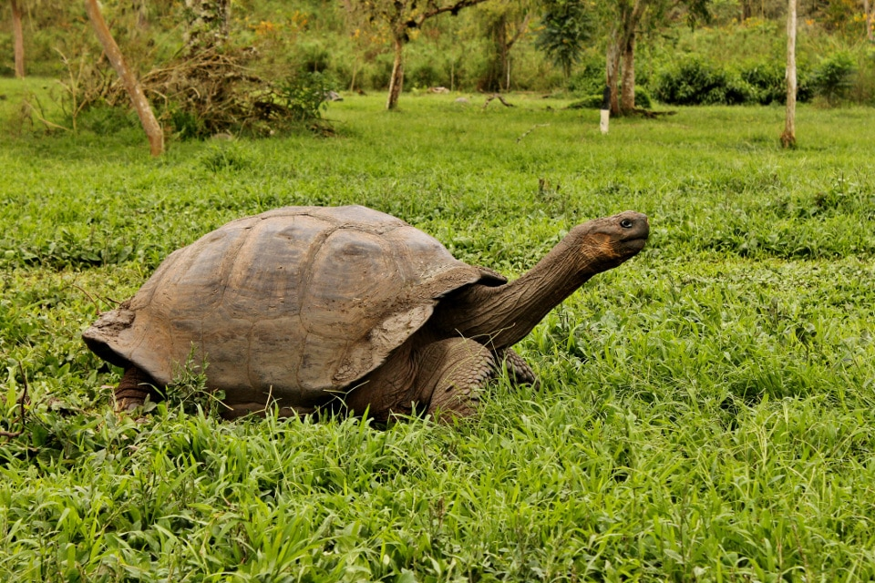 Protected Galapagos giant tortoises.