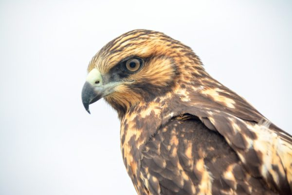 Endemic Galapagos hawk.