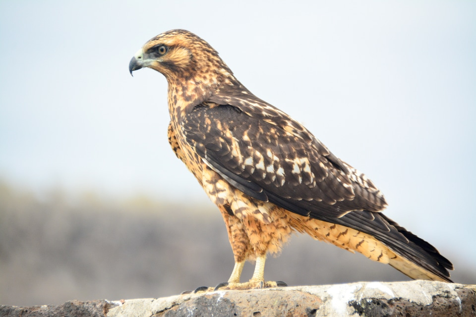 Galapagos Hawk spotted during the Eastern Galapagos Itinerary aboard Santa Cruz II Cruise.