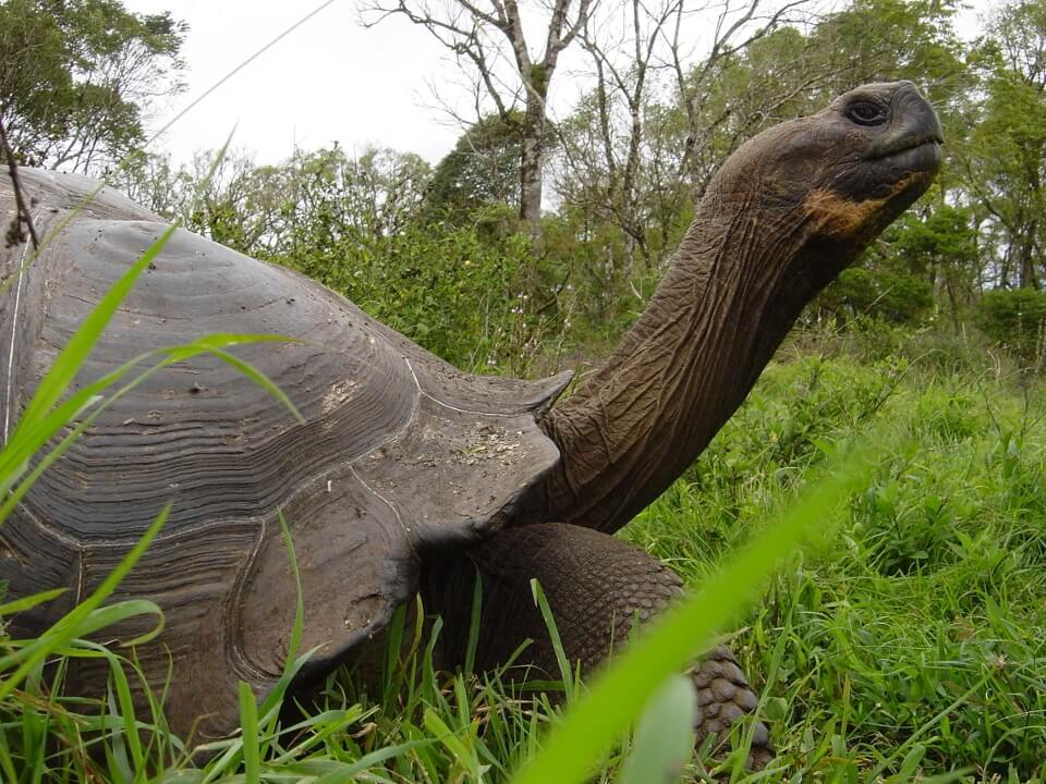 Galapagos giant tortoise in its natural habitat.