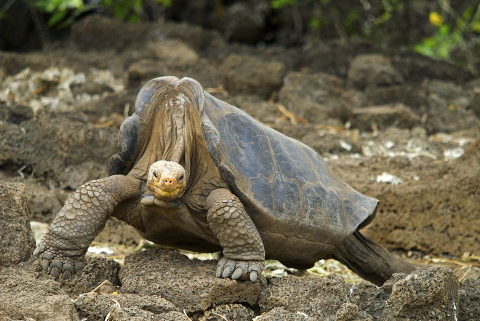Lonesome George, the most famous Galapagos giant tortoise.