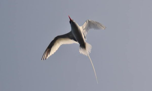 Red-billed tropic bird flying.