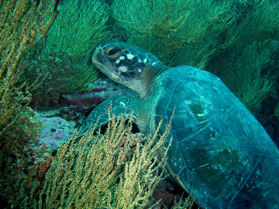 Green sea turtle underwater.