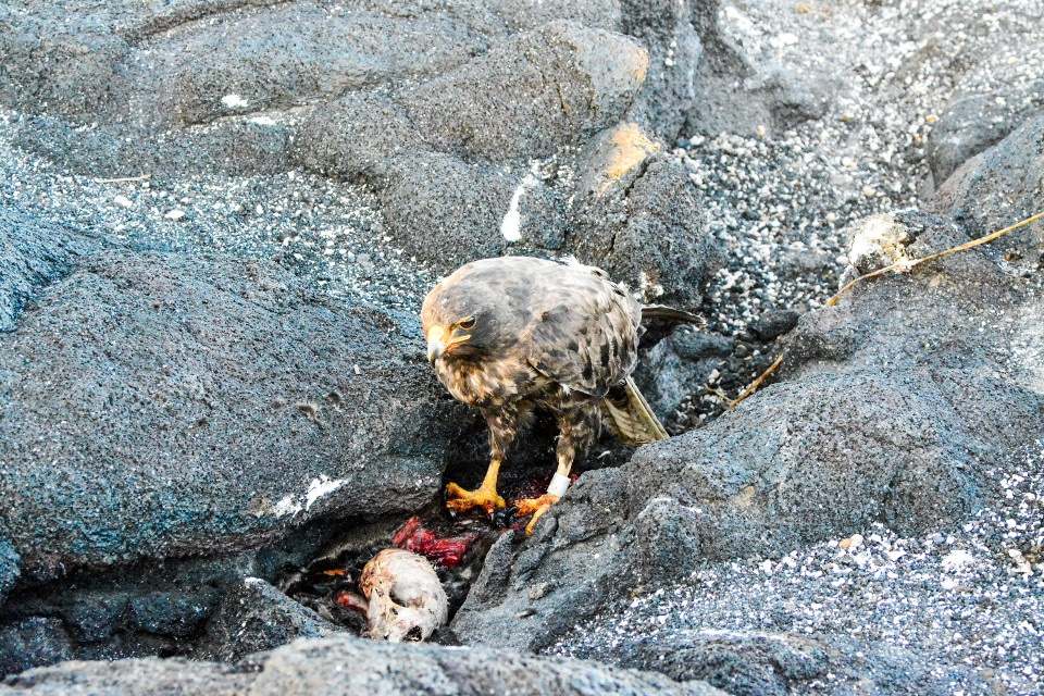 Galapagos hawk eating its prey