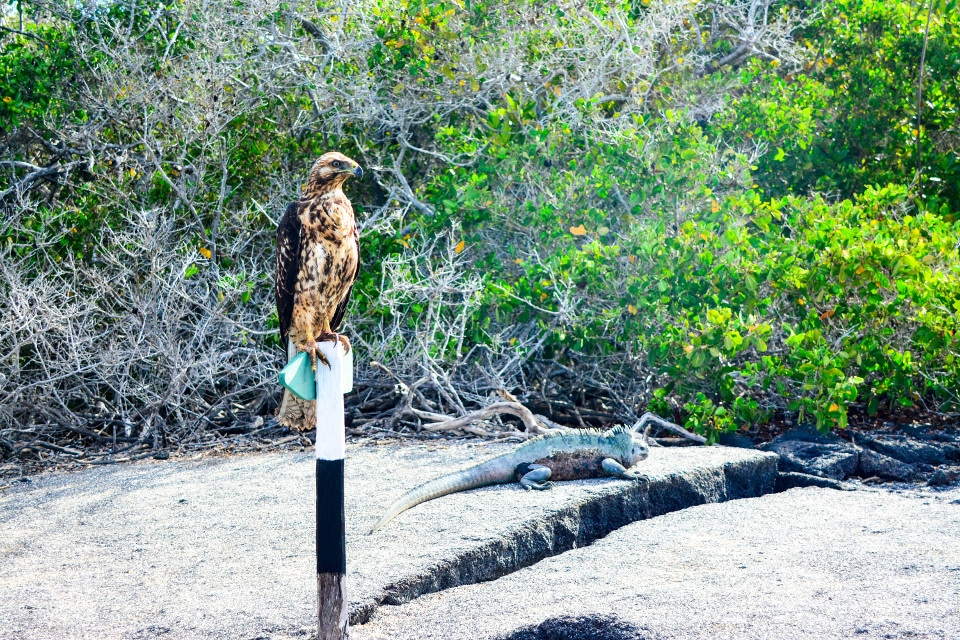 Galapagos hawk and marine iguana.