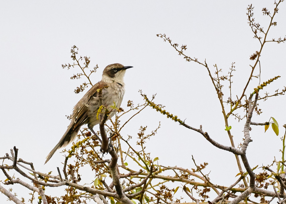Mockingbird in Galapagos during hot season.