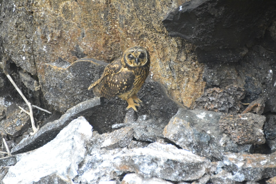 Galapagos owl on Genovesa Island.