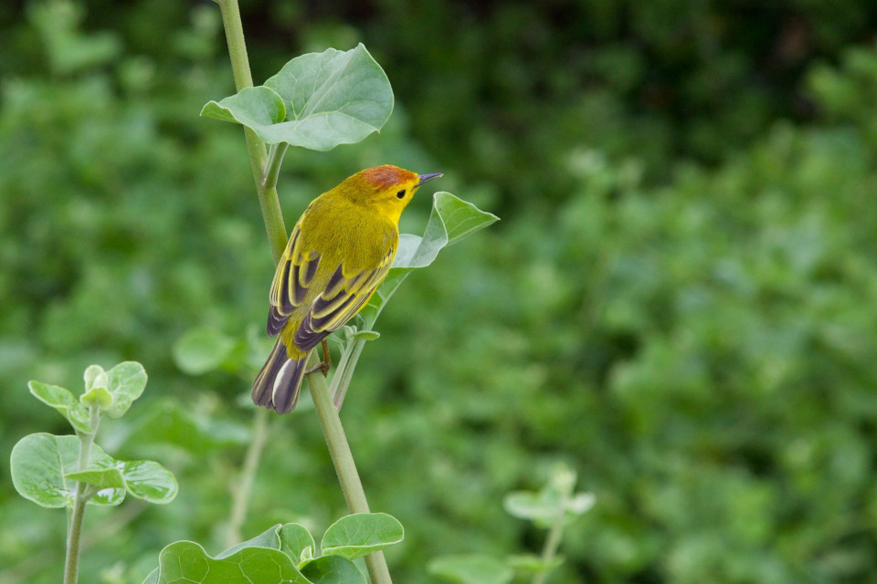 Galapagos yellow warbler land bird.