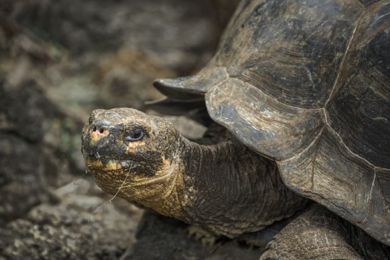 Observe Galapagos tortoises at the CHarles Darwin Research Station