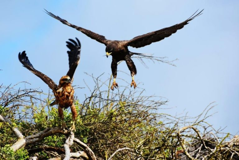 Galapagos Hawk flying