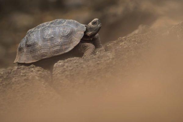 Newborn Galapagos tortoise.