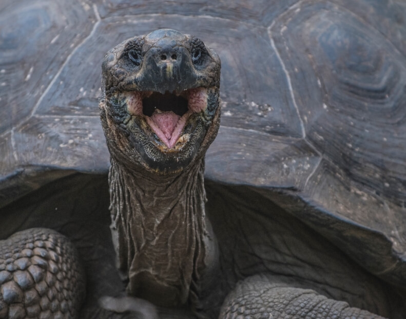 The giant tortoise is one of the Galapagos endemic species.