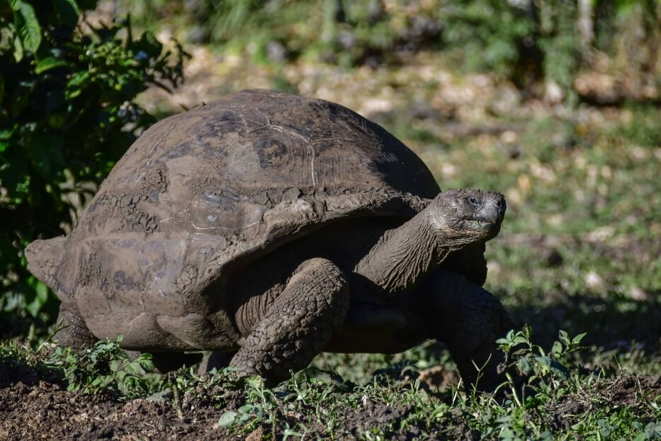 Galapagos giant tortoise saddle.