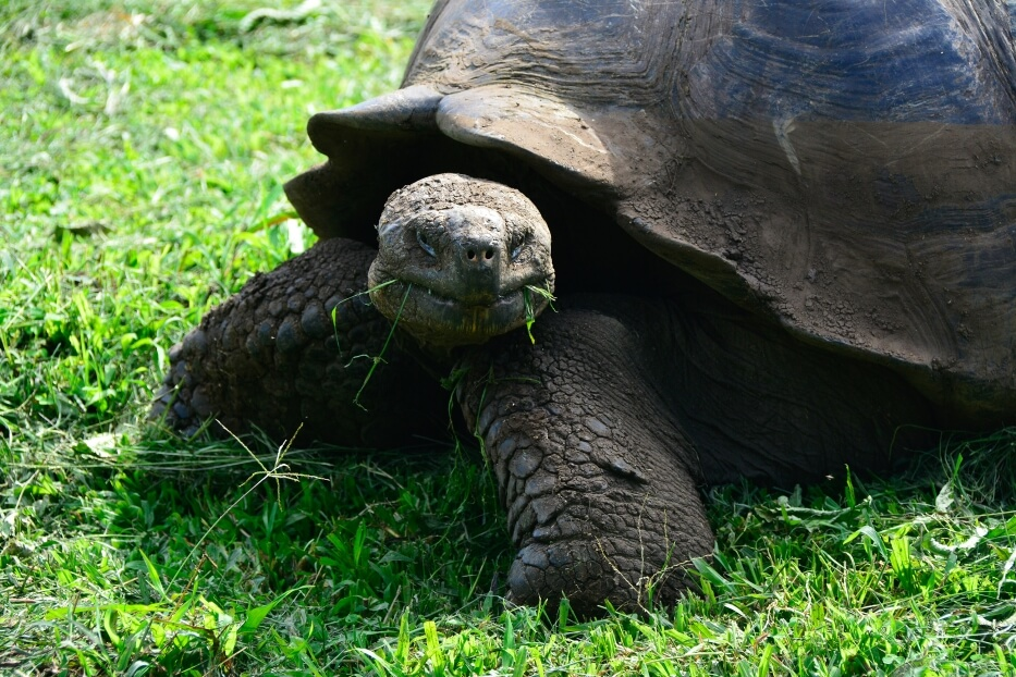 Galapagos giant tortoise walking and eating.