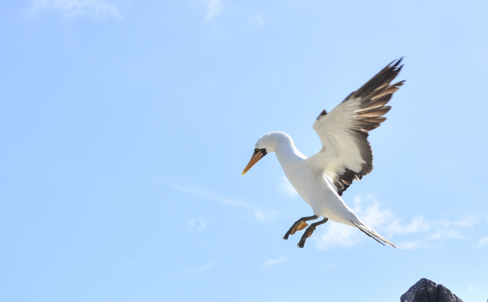 Nazca booby flying in Galapagos.