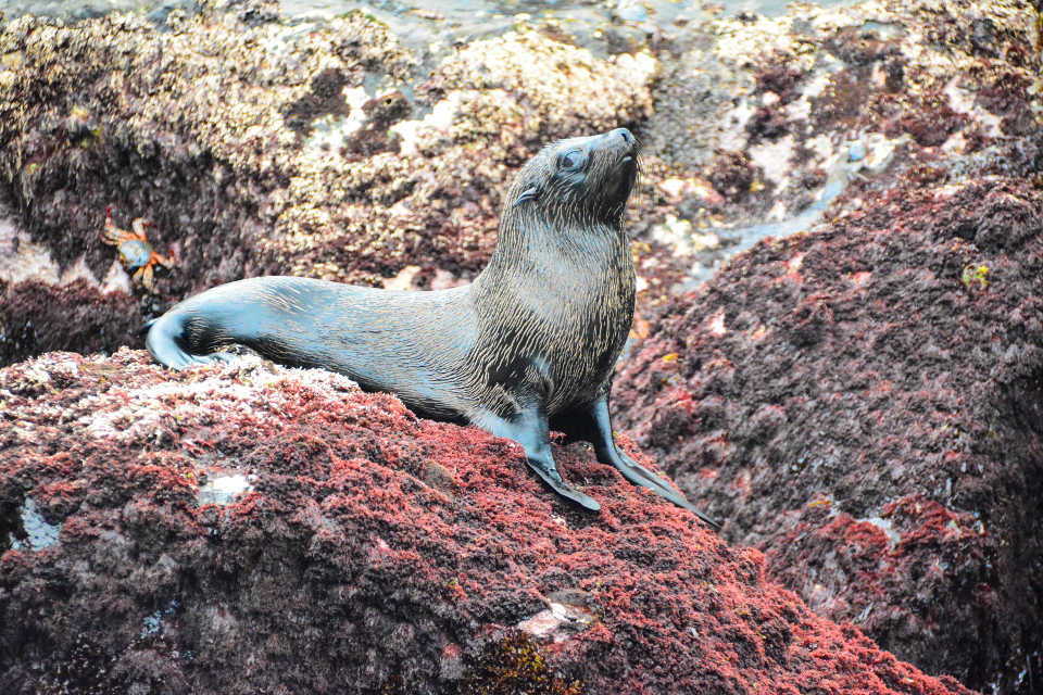 Galapagos fur seal pup on the rocks.