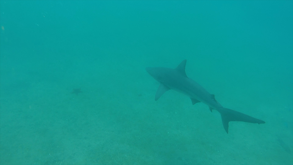 A Galapagos shark encounter.