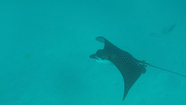 Eagle ray swimming around North Seymour.
