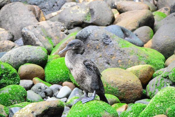 Flightless cormorant is found only on Fernandina Island.
