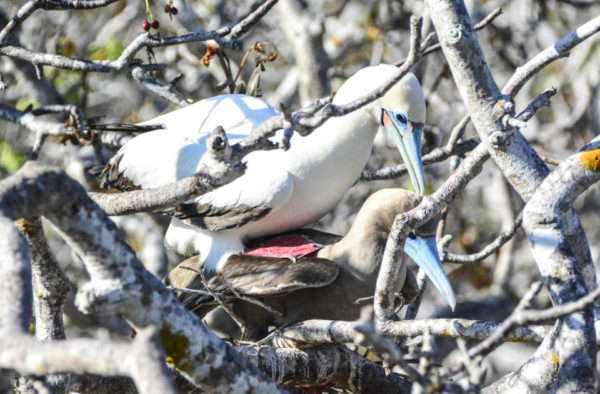 Red-footed boobies spotted on Genovesa Island.