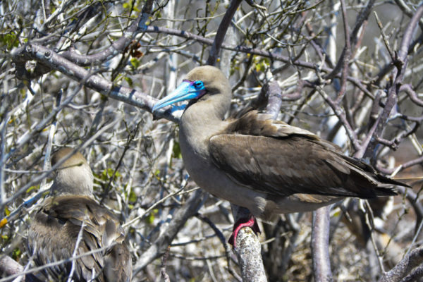 Red-footed boobies are found on tree branches.
