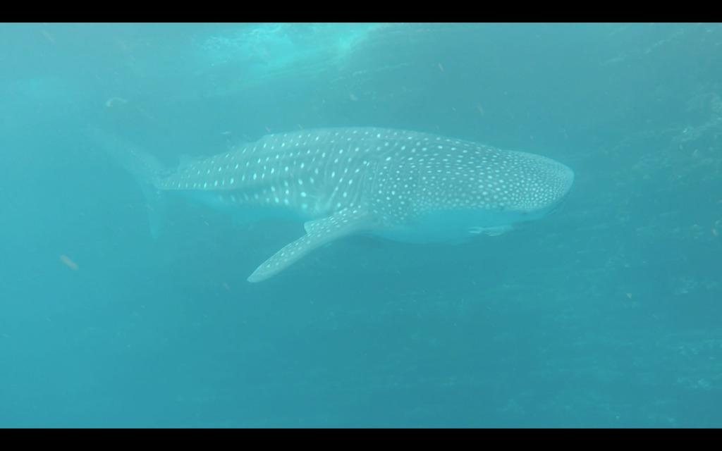 Whale shark swimming around Punta Vicente Roca