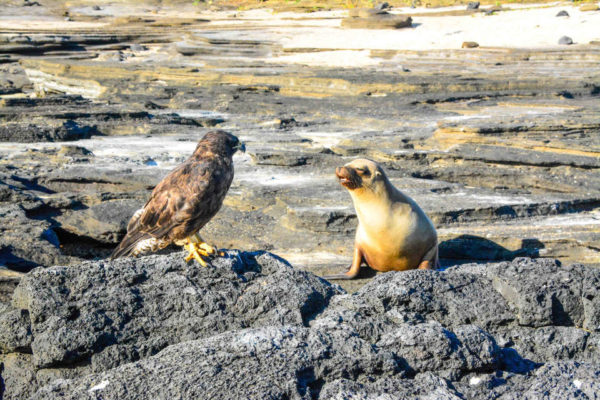 Endemic Galapagos hawk and sea lion.
