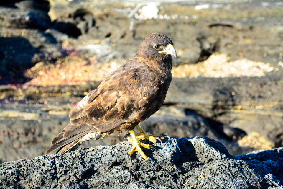 The Galapagos hawk is an endemic species of the archipelago.