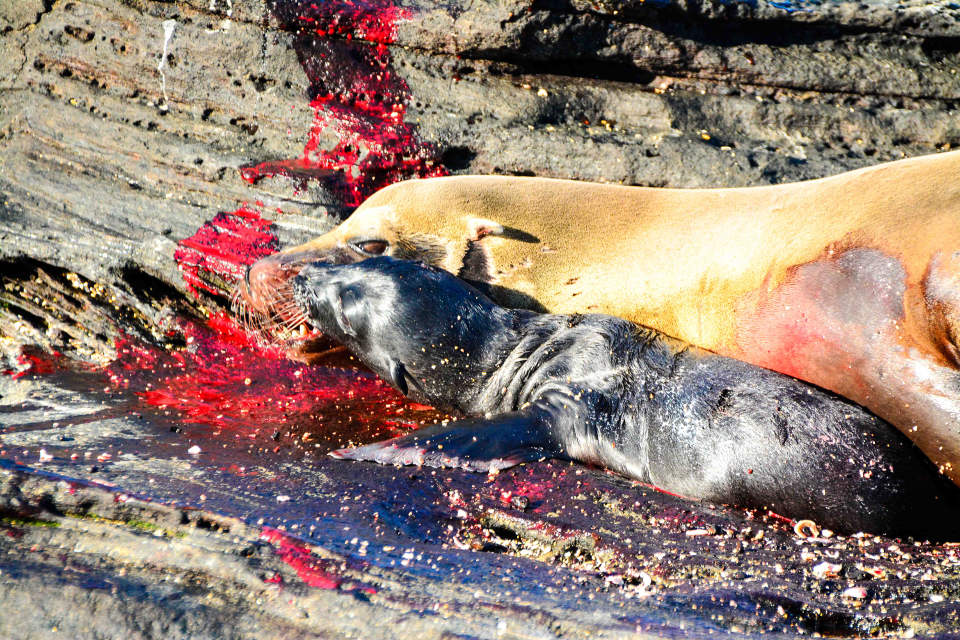 Birth of a sea lion at Puerto Egas on Santiago Island.