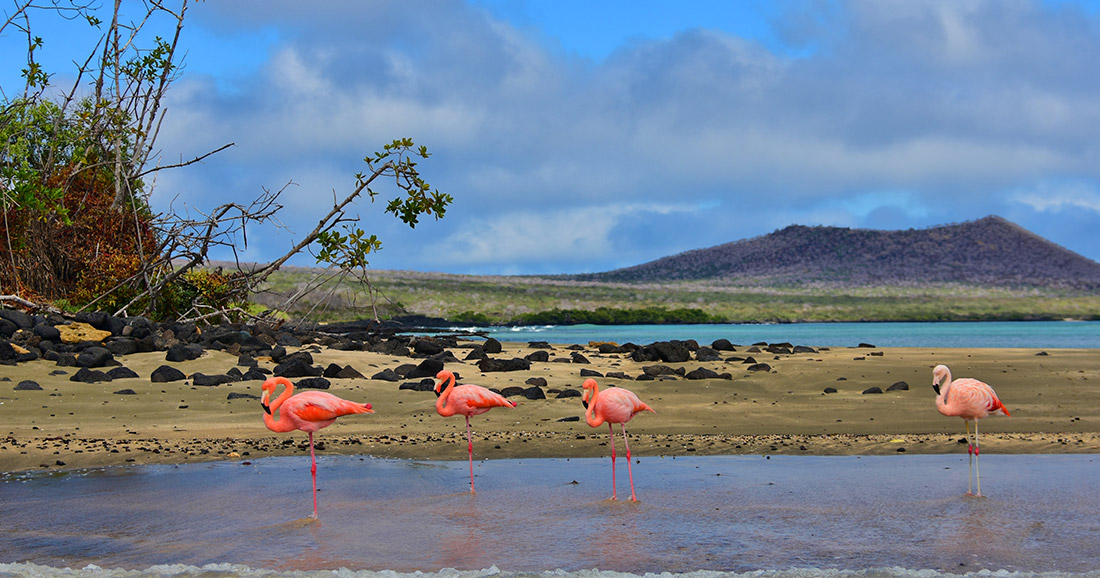 American flamingo seen at Post Office Bay in Galapagos-