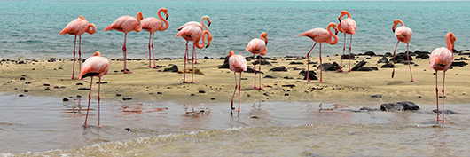 American flamingos spotted through our Western and Northern Galapagos Itineraries.