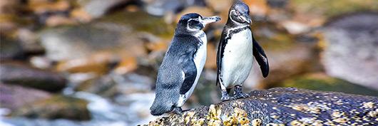 Galapagos penguins spotted through Santa Cruz II's itineraries.