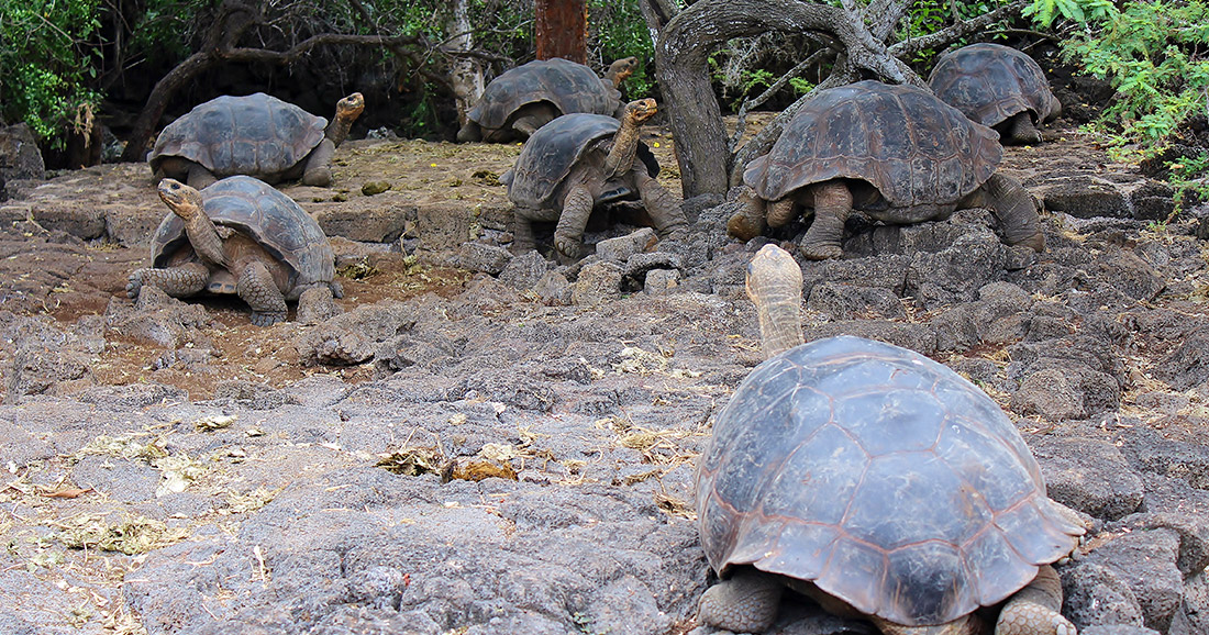 Galapagos giant tortoises at the Charles Darwin Research Station.