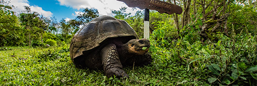 The iconic Galapagos giant tortoise feeding in its natural habitat.