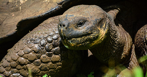 Galapagos giant tortoise can be seen at the Charles Darwin Research Station.