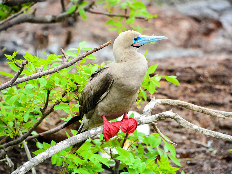 Red-footed booby on Genovesa Island in Galapagos.