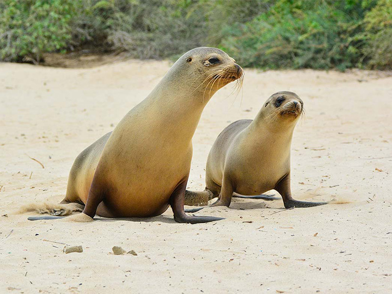 Galapagos sea lions on Santa Fe Island.