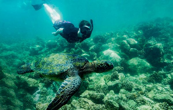Snorkeling with marine turtles in the Galapagos Islands.