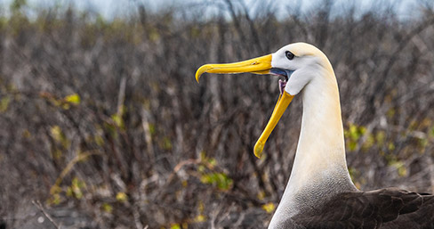 Galapagos albatross seen through the Santa Cruz II's Eastern Galapagos Itinerary.