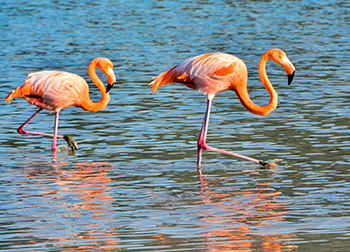 American flamingos spotted through our Northern Galapagos Itinerary.
