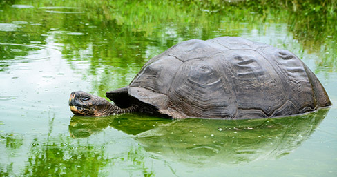 Galapagos giant tortoise resting in a pond.