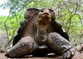 Galapagos giant tortoise spotted through our Western Galapagos Itinerary.