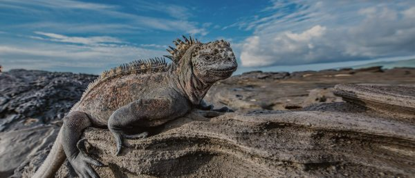 Galapagos marine iguana on a rock.