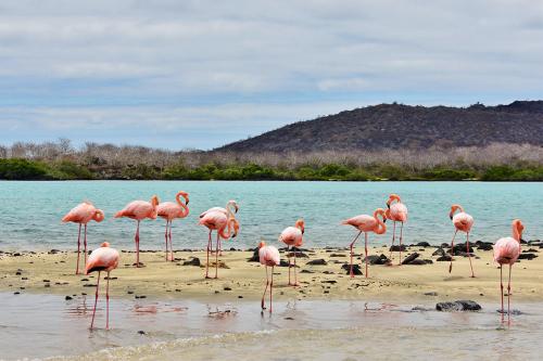 American flamingos at Post Office Bay on Floreana Island